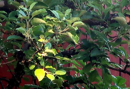 29. Mai 2019 - Wenn Blätter am Baum zu leuchten beginnen