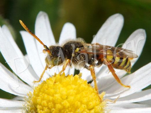 02.04.2016 : eine Wespenbiene am Gänseblümchen