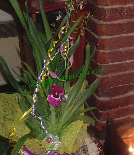 Orchidée : Miltoniopsis