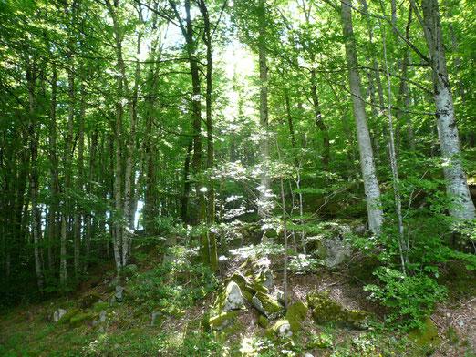 les sous-bois de hêtres et de chênes