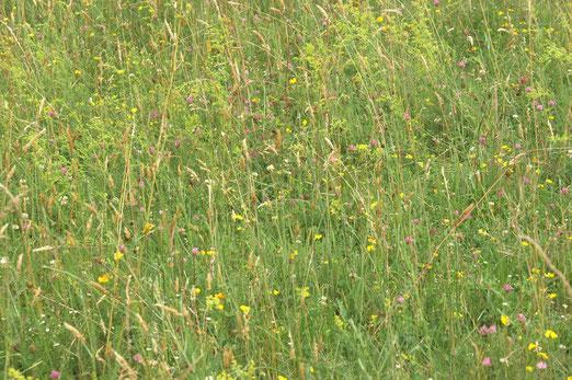 Artenreiche Wildblumenwiese; Juni 2018