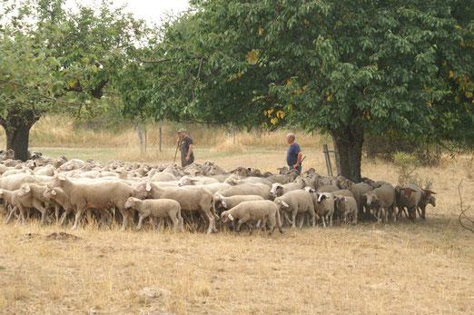 Kein Futter mehr für die Schafherde; Juli 2018