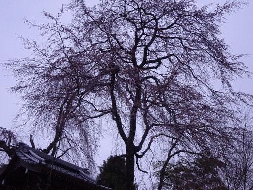 4月13日(日)午後3時半ころの枝垂れ桜。曇っているのでみにくいかも。