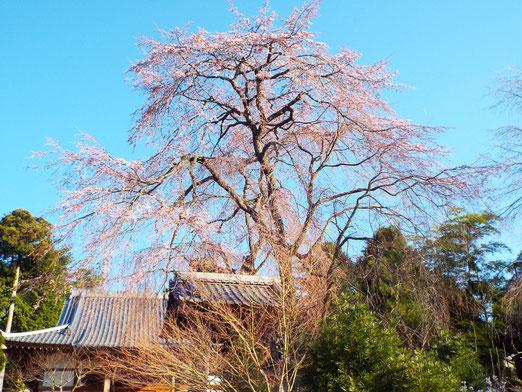 4月14日午後2時半の桜の様子