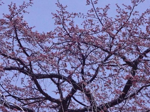 鐘楼の上にかかるしだれ桜