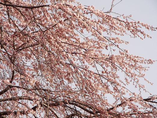 4月16日の桜のクローズアップもう一枚