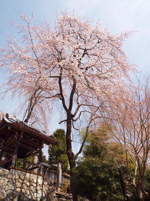 4月15日のしだれ桜