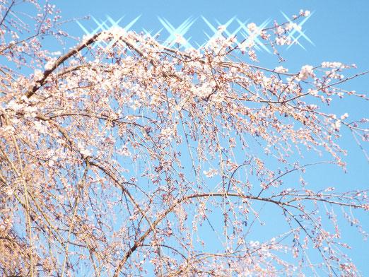4月14日早朝の桜です。