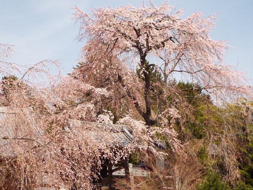 4月15日の桜開花