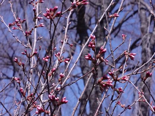 高遠彼岸桜も開花寸前です。
