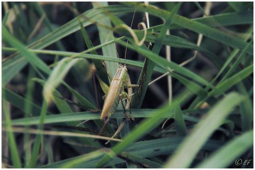 Eine Schwertschrecke im Gras