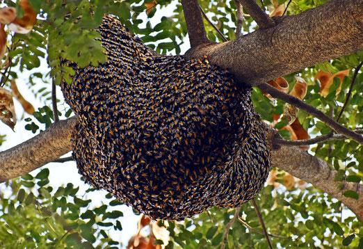 essain d'abailles sur branche/ pixabay/ ferme biologique de la Millanchère