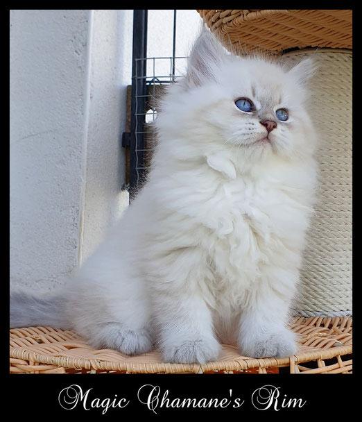 chaton sibérien blue tabby point, poils long, yeux bleus