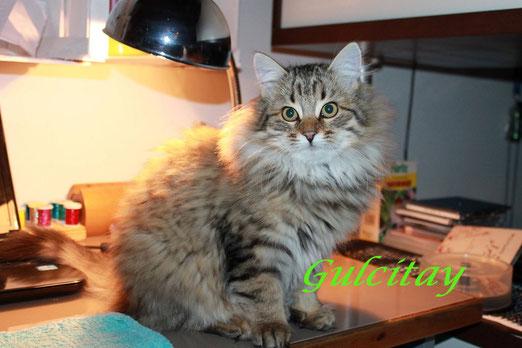Femmina di gatto siberiano