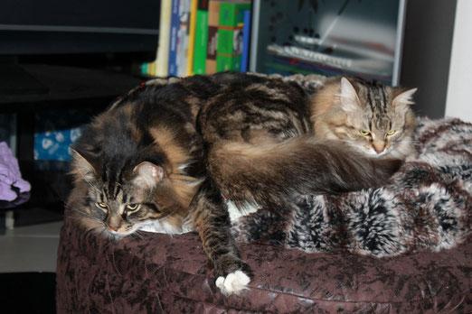 gatti siberiani