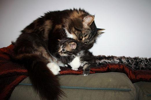 cucciolo siberiano gattino siberiano otrada siberiana