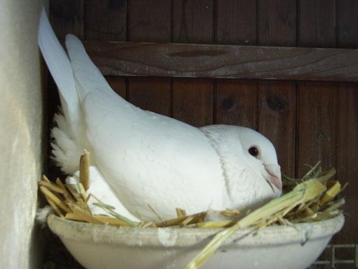 Das ist mein Stammvogel Nr.2 der 580.Er ist der Sohn von meiner As-Täubin die bestes jähriges Weibchen der F.G. und der RV war mit 12 Preise.Sie wurde auf der FG.Ausstellung ,Standartweibchen.