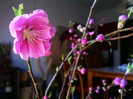 奥さんが生けてた桃の花。  、、梅との違いがわからないんだけど、、とにかく桃なんだって。 春っすね~。。。(汗)