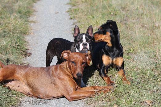 boston terrier, welpen, niedersachsen, züchter, uelzen, hamburg, hunde, klub für terrier, boston terrier