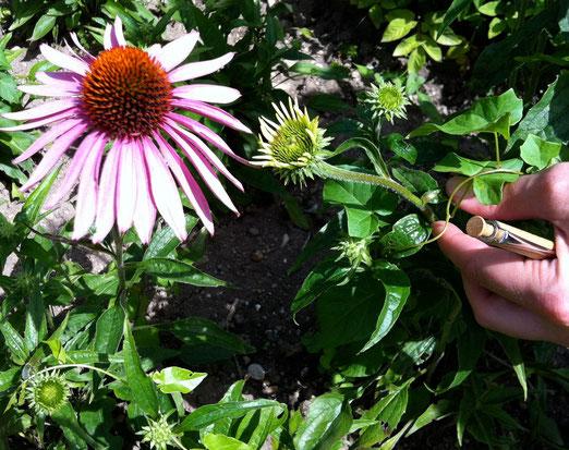 Echinacea oder Sonnenhut