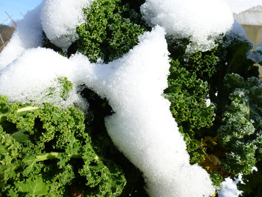 Auch im Winter genug Gemüse zur Selbstversorgung. Hier: Schneekohl