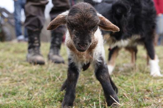 Ich war ein armes krankes Schaf