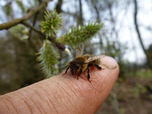 Für eine neue Freundschaft von Mensch und Biene: Start des Bienenprojektes