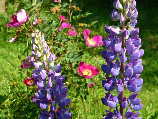 Alte Rose und Lupine