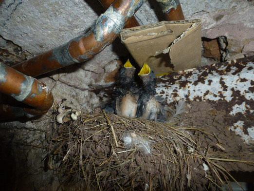 Die Rauchschwalbenküken: Zwei Nester & zwei erfolgreiche Bruten dieses Jahr!