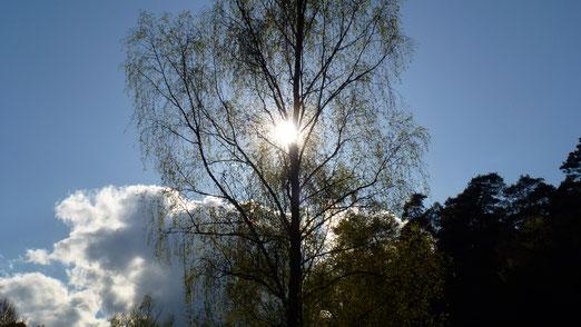 Die Frühlingssonne bricht durch dunkle Wolken und lässt die Birke erstrahlen