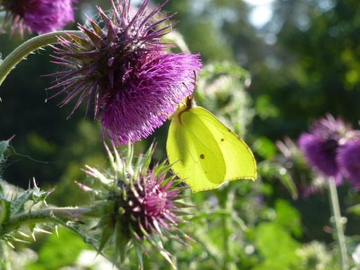 """""""Wer Wildblumen sät, wird Schmetterlinge ernten."""""""