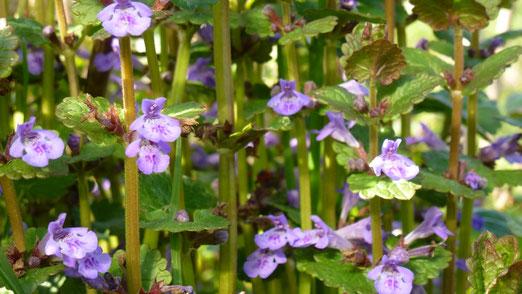 Der Gundermann- Bezaubernde und heilende Elfenpflanze