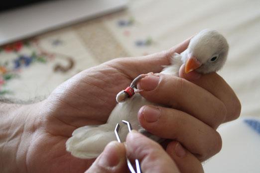 Sacando plumas de la cloaca
