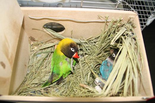 Pareja en el nido