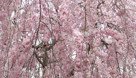 見事!常称寺紅八重枝垂れ桜(Miyuki)