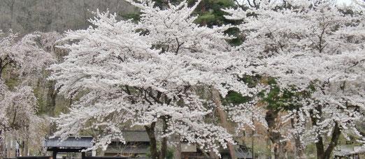 東北にも春がやってきます♪