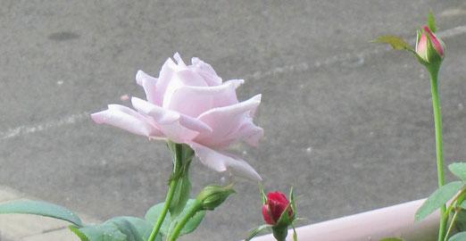 ブルー・ムーン、咲きました♪