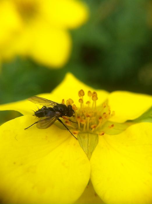 Eine kleine mini Biene ca. 6mm groß holt sich den Nektar aus der kleinen Blüte!