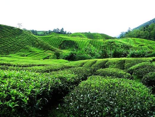BOH Teeplantage in den Cameron Highlands