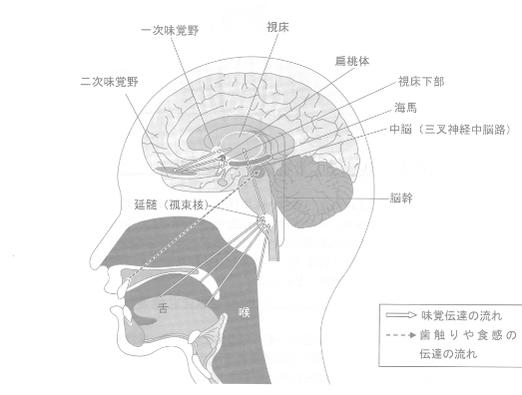 味を感知する脳の仕組み