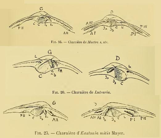 Cerniere dei tre generi presenti nel Miocene dell'Aquitania.