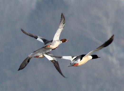 Fliegende Gänsesäger