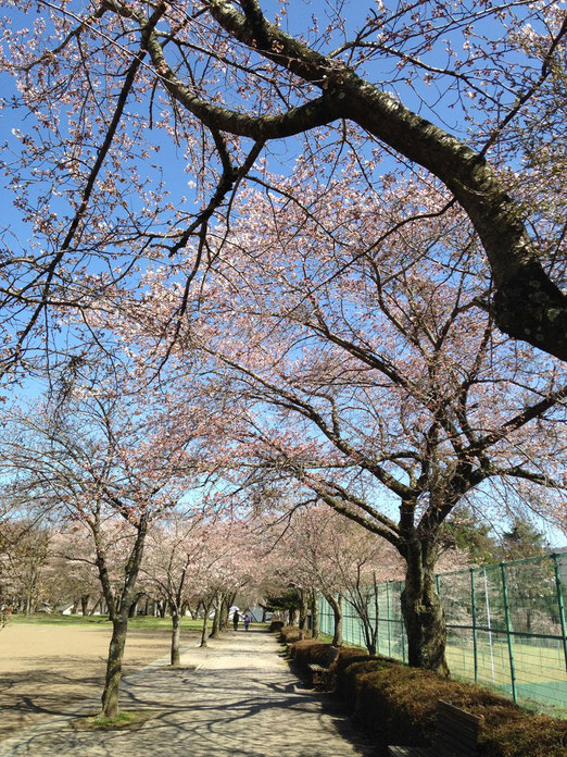 今日の雪窓公園の桜。開花しました
