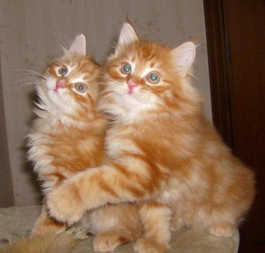 I nostri gattini Siberiani rossi