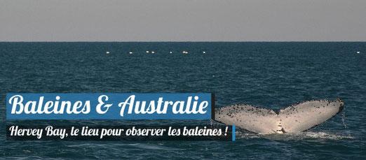 Observation des baleines à Hervey Bay en Australie !