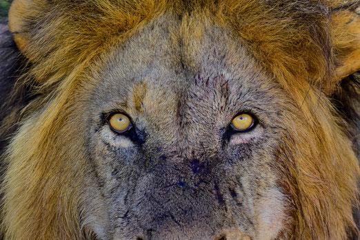 Was man sich so wünscht: Löwen und Schoggimousse