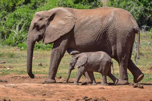 Der Addo Elephant National Park trägt seinen Namen zurecht