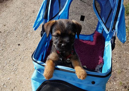 Border Terrier Welpe Mira