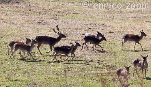Daini: il maschio col suo branco di femmine in una radura del Parco Nazionale delle Foreste Casentinesi