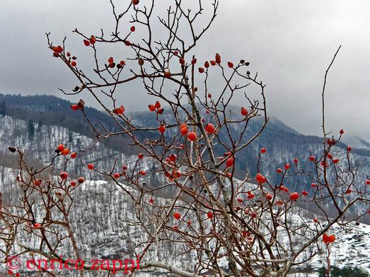 Rossi cinorodi di Rosa Canina contrastano con il paesaggio innevato dei crinali a fianco del Poderone.